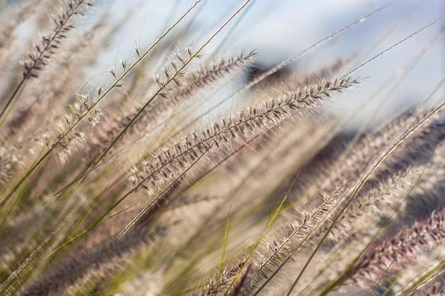 Allergie Gräserpollen